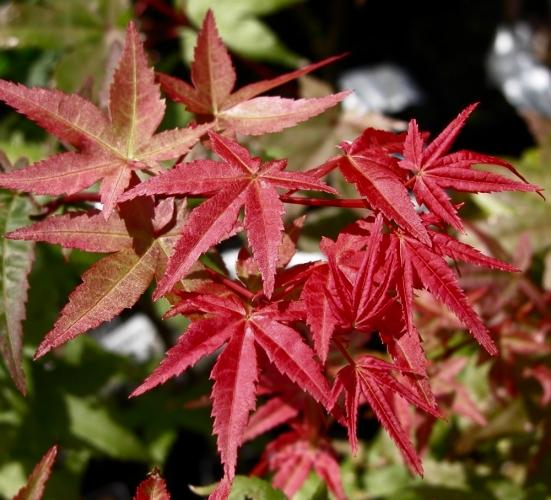 Liste des bambous for Comarbuste a feuille rouge