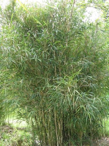 Liste des bambous - Quel terreau pour bambou ...