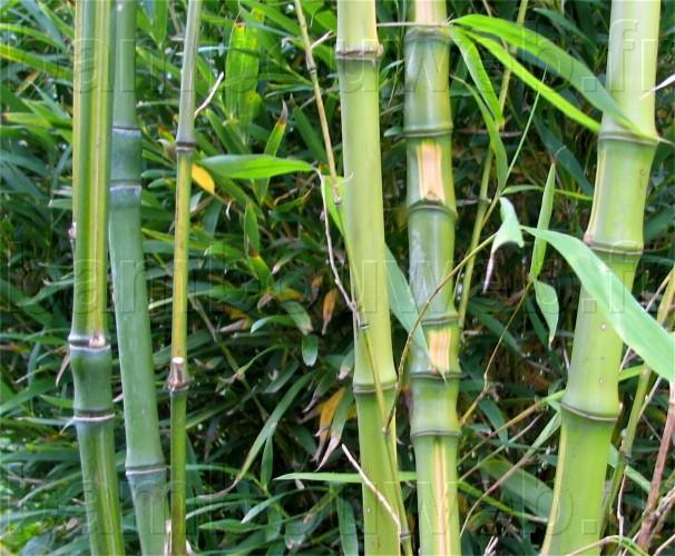 Liste des bambous for Phyllostachys aurea en pot
