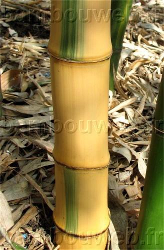Liste des bambous - Tuteur bambou gros diametre ...